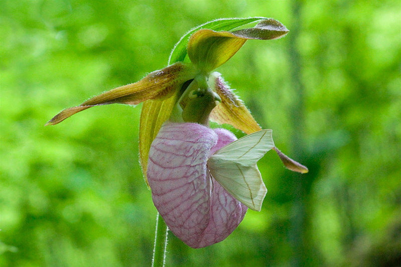 Pink Ladys Slipper Orchid with Moth