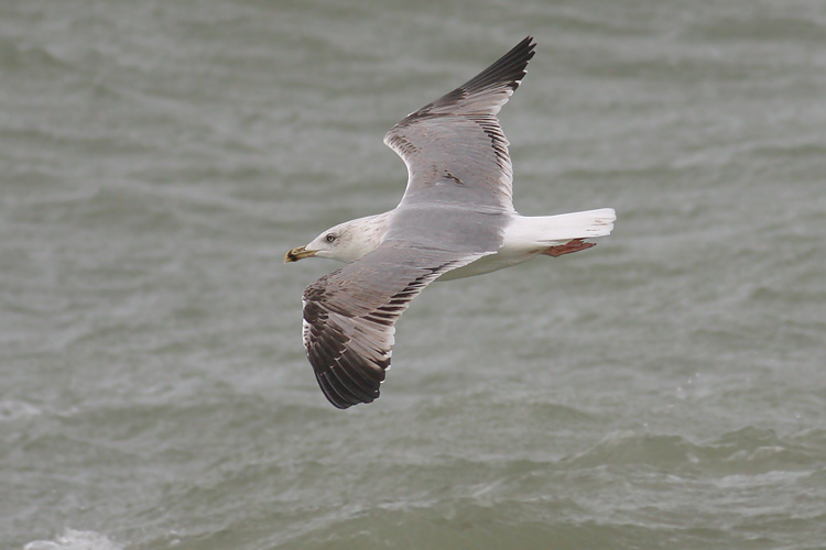 Geelpootmeeuw / Yellow-legged Gull