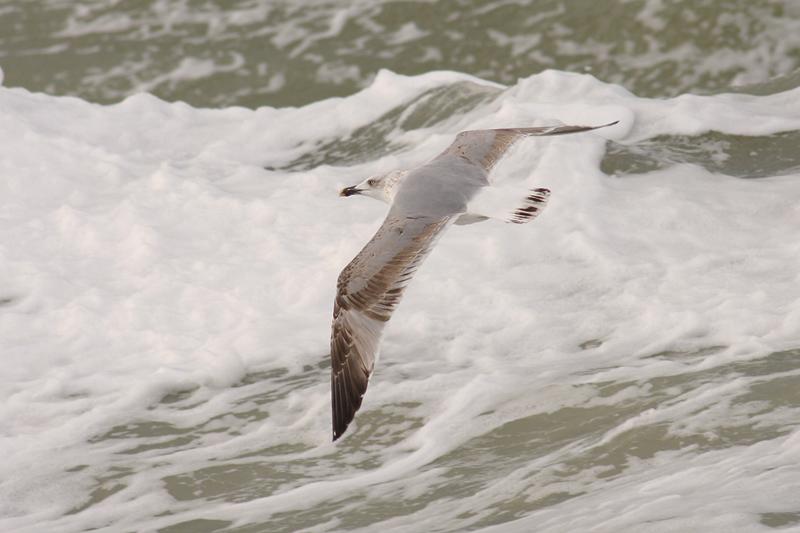 Geelpootmeeuw / Yellow-legged Gull