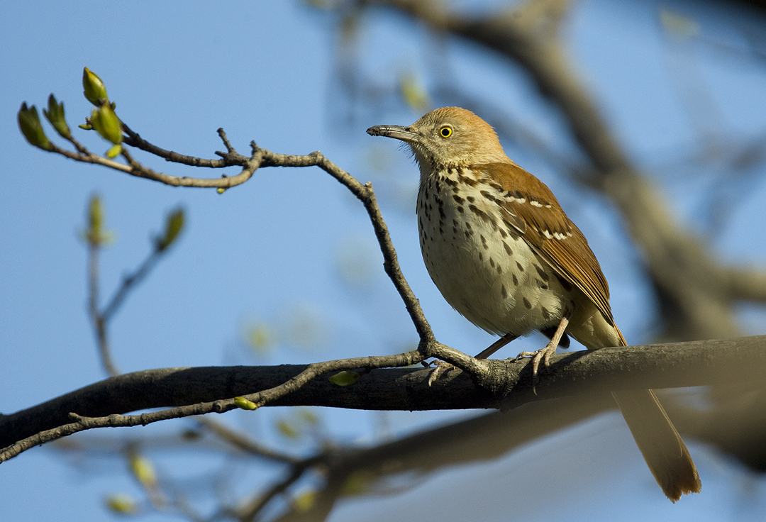 Brown Thrasher 4386