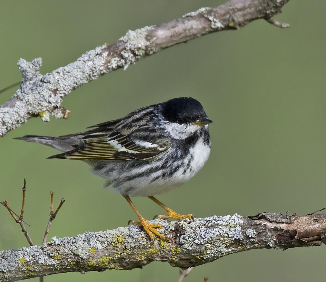 Blackpoll Warbler 4575