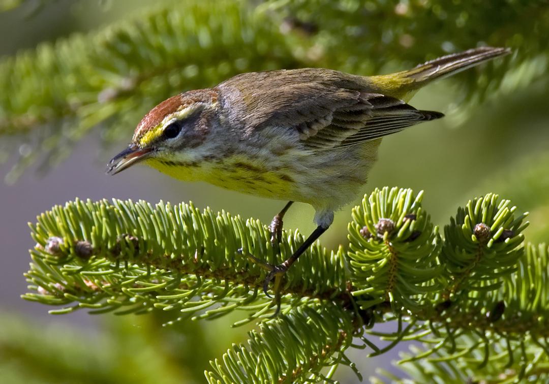 Palm Warbler 4684