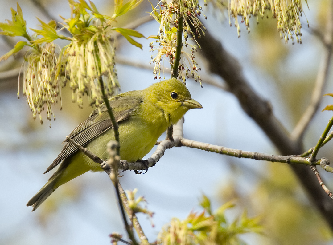 Scarlet Tanager female 5864