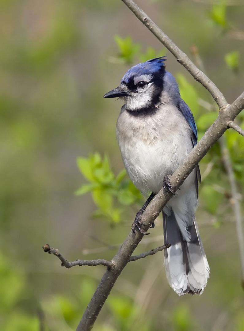 Blue Jay 5974