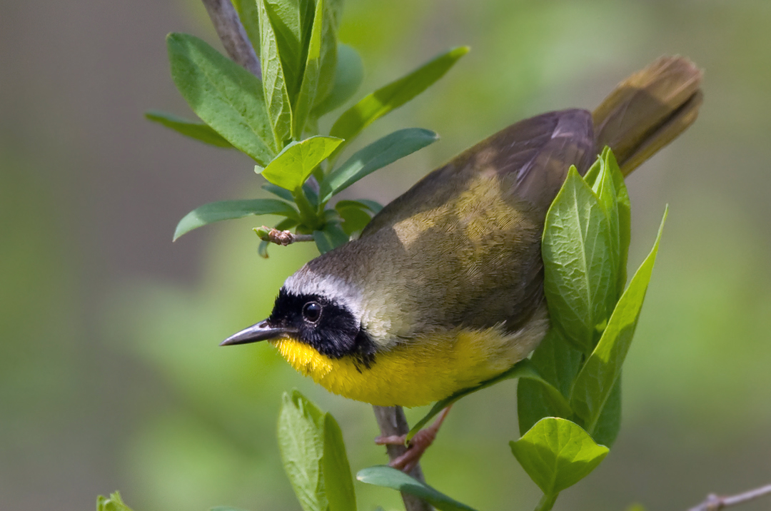 Common Yellowthroat 4381.jpg