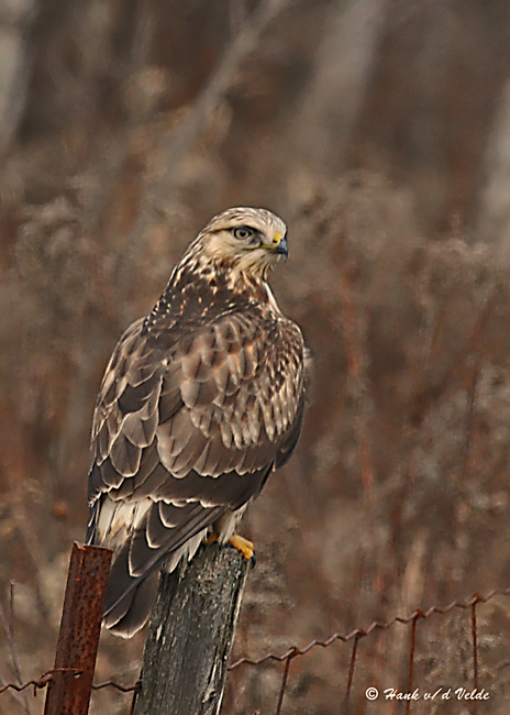 20081118 011 Rough-legged Hawk.jpg