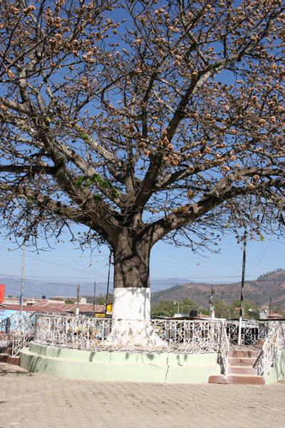 Ceiba Frente a la Iglesia