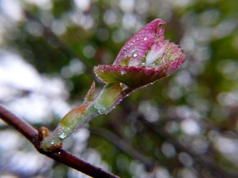 Oak Burst