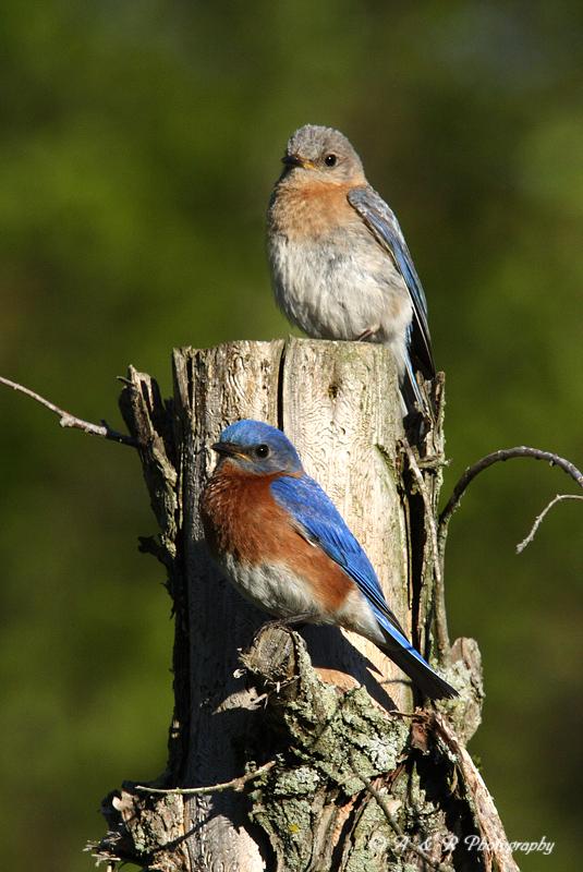 Nesting Bluebirds pb.jpg