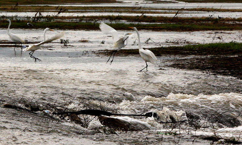 Dance of the Egrets