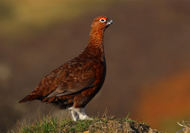 Red Grouse   Scotland