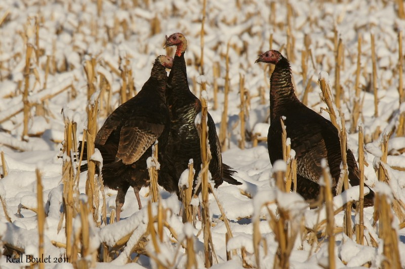Dindon sauvage (Wild Turkey)