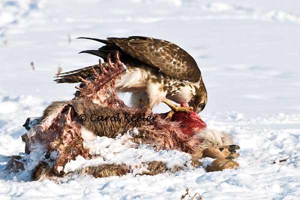 Redtail on Deer Carcass
