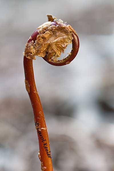 Sensitive Fern Fiddlehead