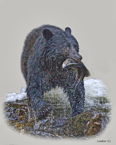 ALASKA BLACK BEAR (Ursus americanus)   IMG_1217