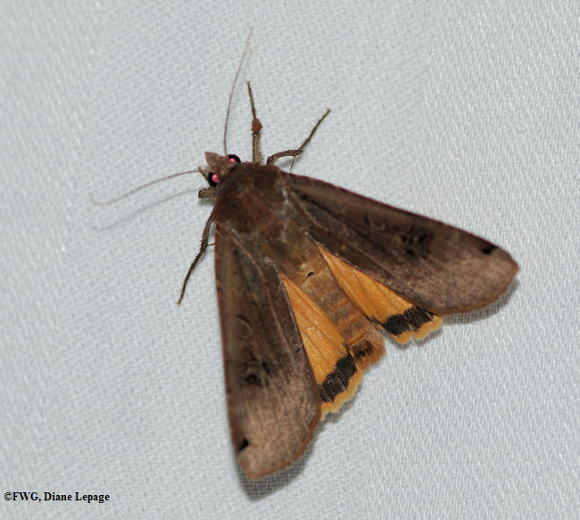 Large yellow underwing (<em>Noctua pronuba</em>), #11003.1