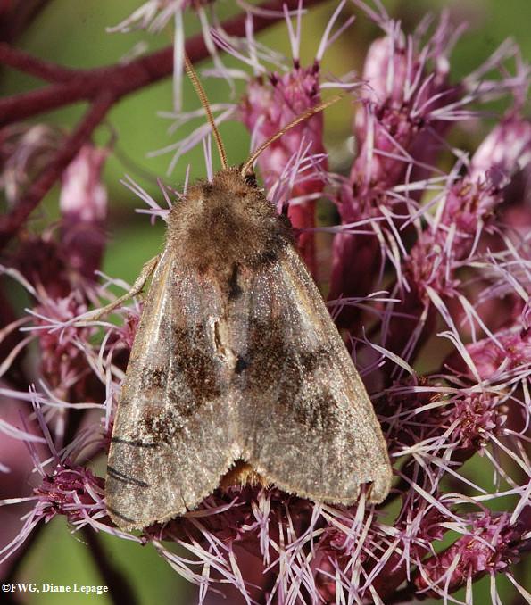 Bronzed cutworm moth (<em>Nephelodes minians</em>), #10524