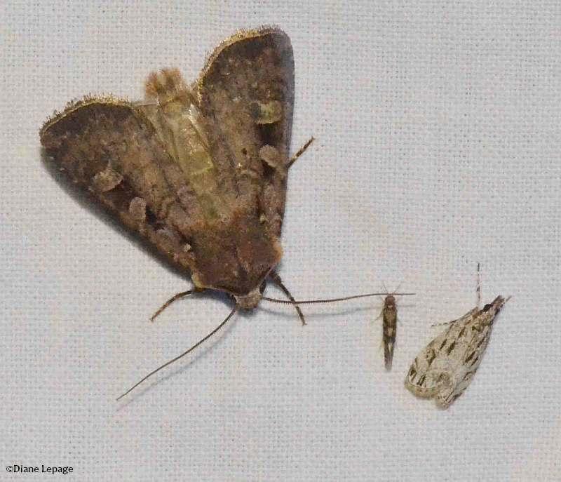 Soft dart (<em>Feltia mollis</em>) #10644,  and  Striped eudonia (<em>Eudonia strigalis</em>), #4738