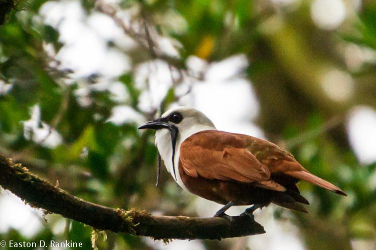 Three-wattled Bell Bird (Procnias tricarunculatus)