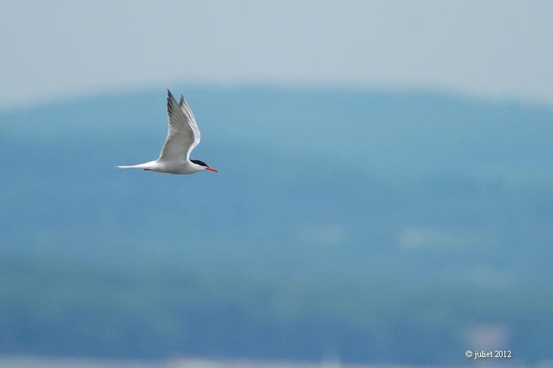 Sterne Pierregarin (Common tern)