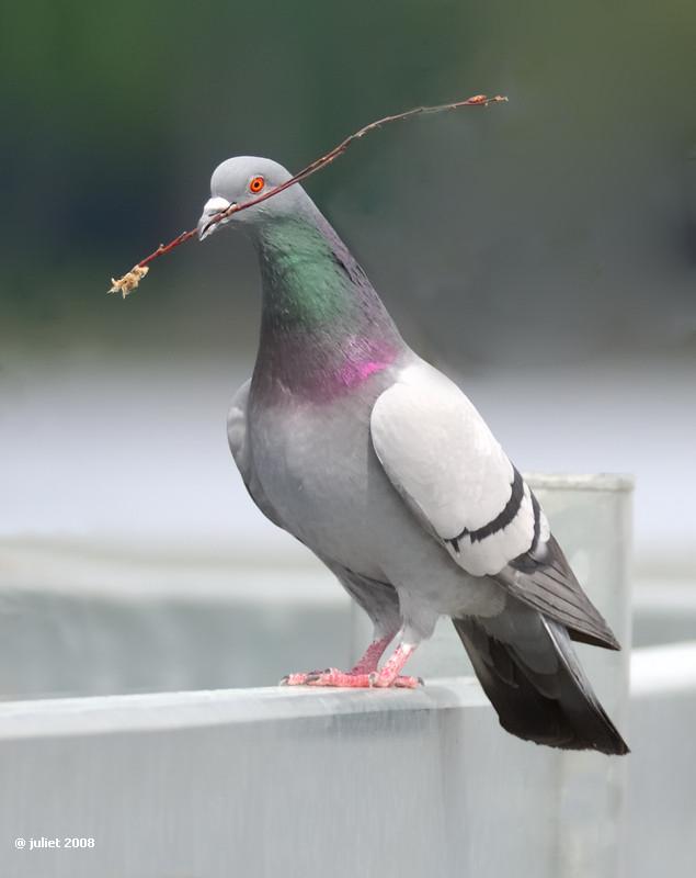 Pigeon biset (Rock pigeon) Columba livia