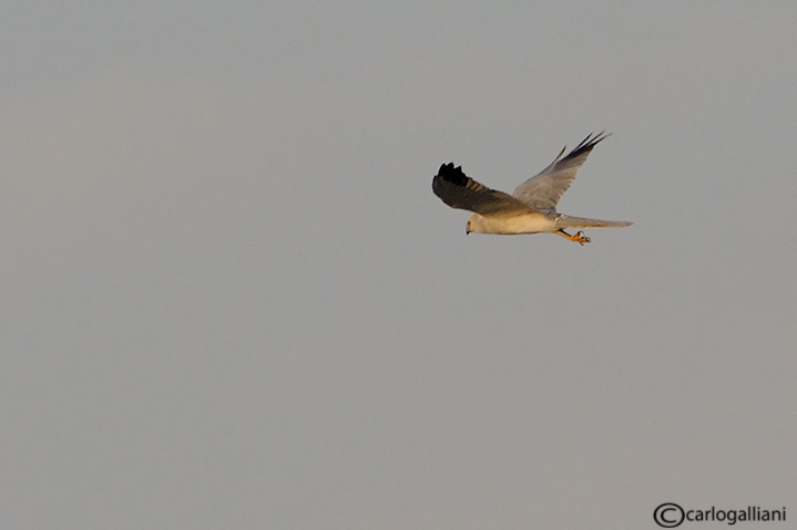 Albanella pallida- Pallid Harrier (Circus macrourus)