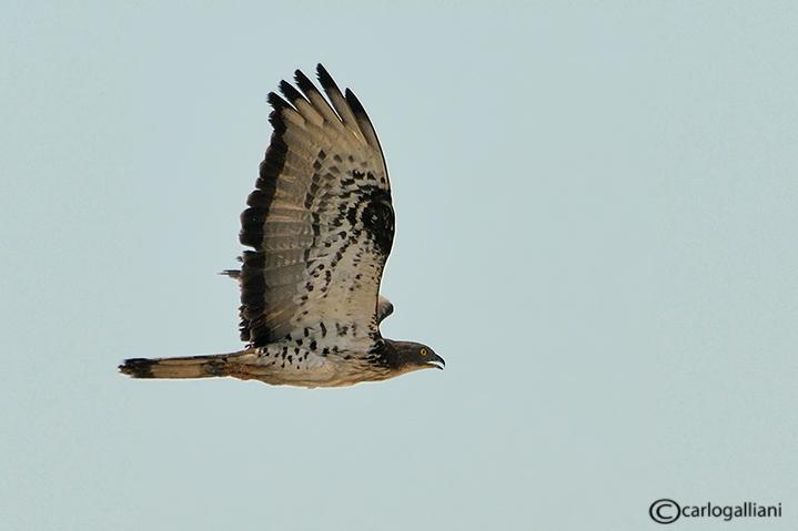 Falco pecchiaiolo -Honey Buzzard (Pernis apivorus)