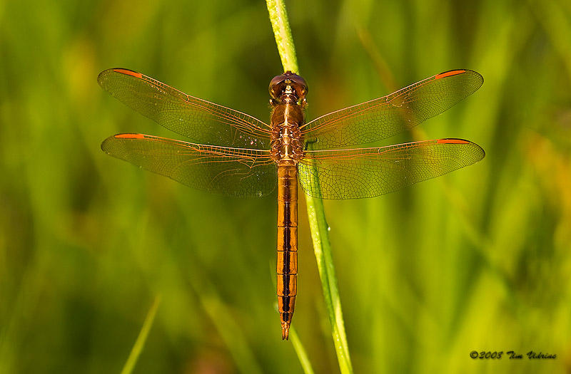 Golden-Winged Skimmer ♂