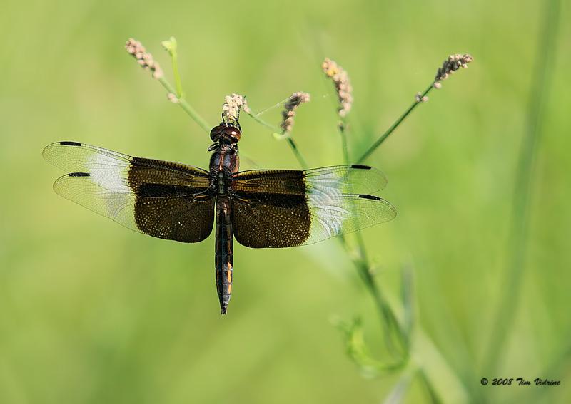 Widow Skimmer ♂ ( juvenile )