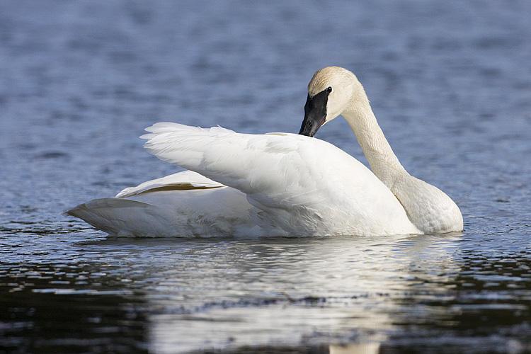 trumpeter swan 050909IMG_4557