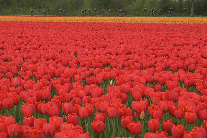 Tulips - Tulpen