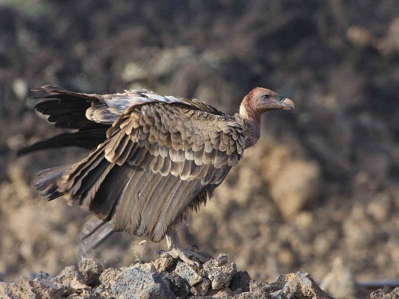 Ruppells Vulture, Fantelle lava field, Lake Beseka