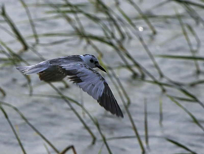 White-winged Tern, Lake Awassa