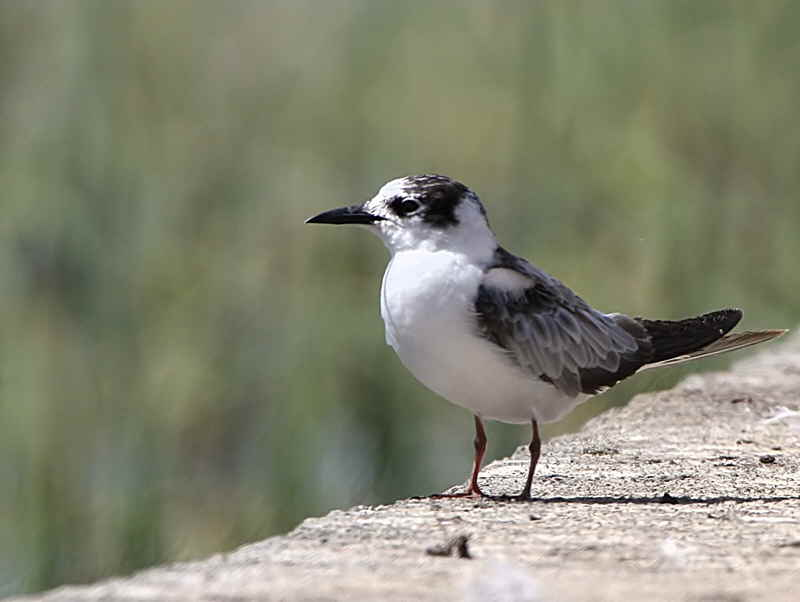 White-winged Tern, Awassa fish market