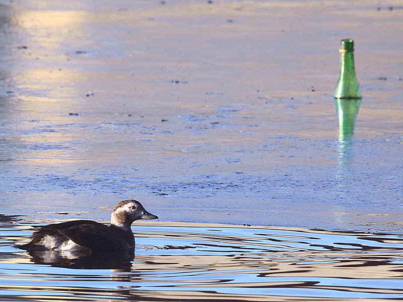 Long-tailed Duck, Garnqueen Loch, Clyde