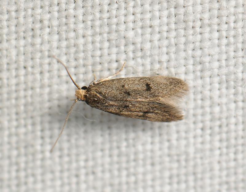 0709   Borkhausenia luridicomella  180.jpg