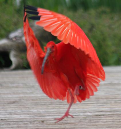 Scharlachsichler landet / scarlet ibis landing