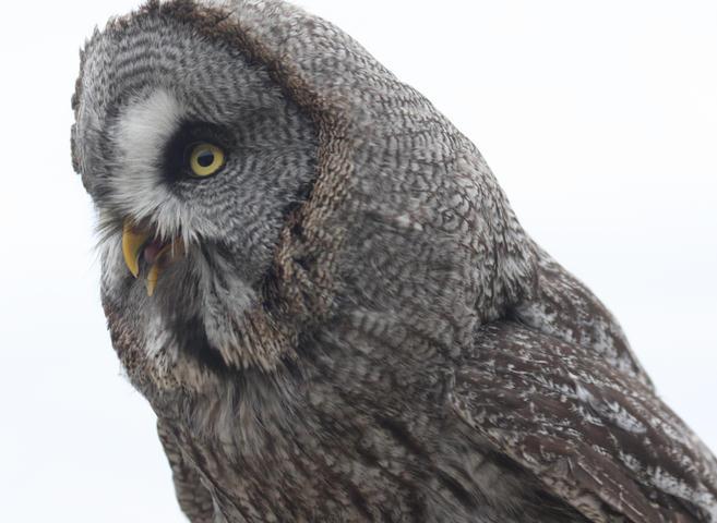Bartkauz / great grey owl