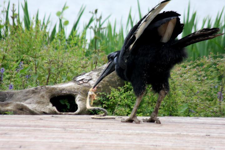 Nördlicher Hornrabe / Abyssinian ground-hornbill