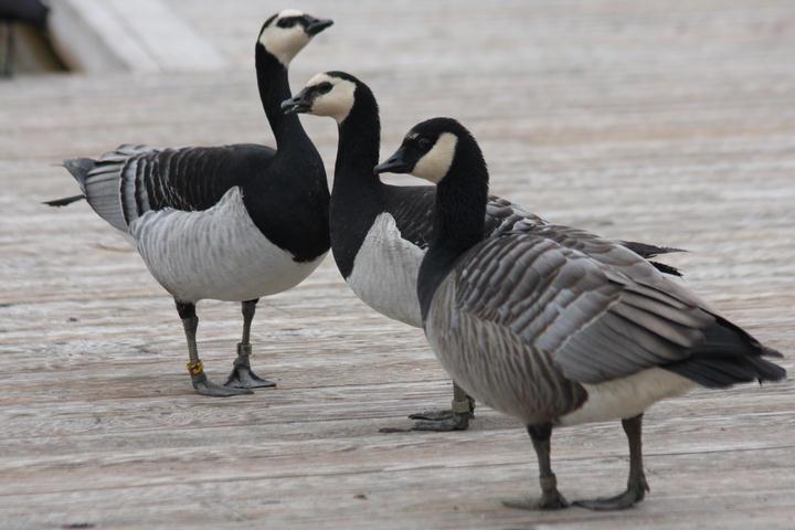 Weißwangengänse / barnacle geese