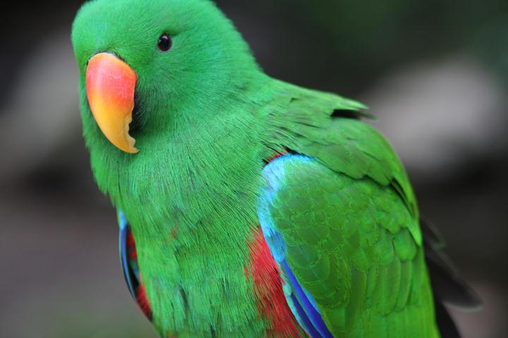Edelpapageimännchen...  / male eclectus parrot...