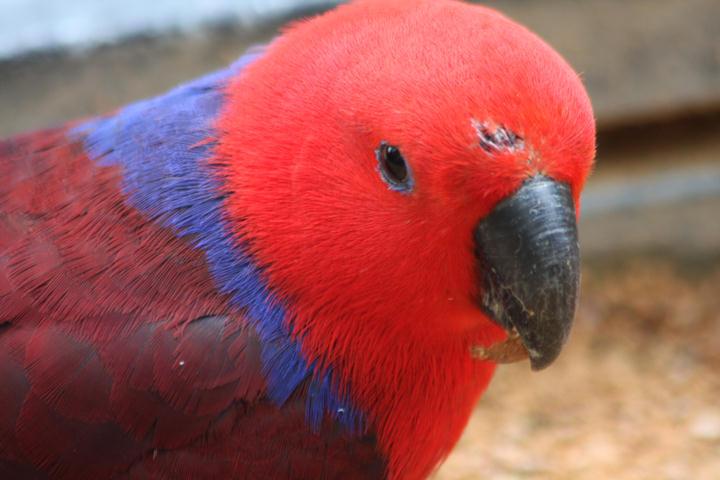 ... und Edelpapageiweibchen / female eclectus parrot