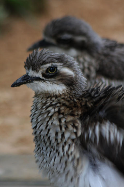 Triele / thick-knees (or stone-curlews)