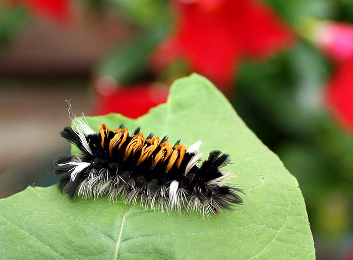 Milkweed Tiger Moth Caterpillar