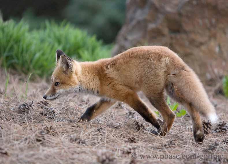 A fox explores surrounding