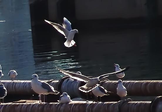 Sea gulls at Dongbin Bridge, Pohang