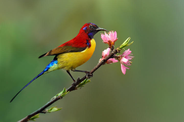 Mrs Goulds Sunbird on branch