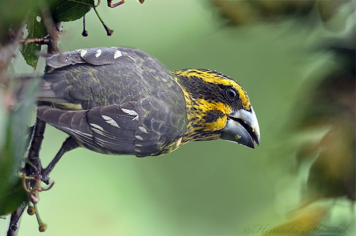 Spot winged Grosbeak