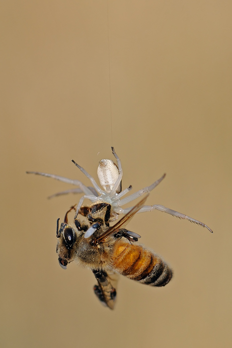 <h5>Crab Spider and Bee - סרטביש ודבורה</h5>