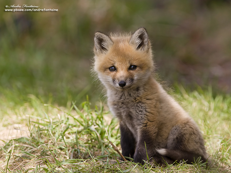 Petite s rie de renard roux - Renard mignon ...